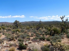 lots of Joshua Trees and cacti